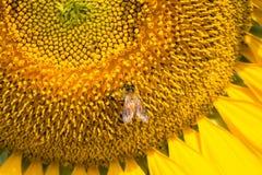 El cierre para arriba de manosea la abeja en el girasol Imagenes de archivo