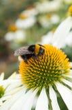 El cierre para arriba de manosea la abeja que recoge el polen en un 'cisne blanco' Flowe Fotografía de archivo