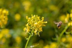 El cierre para arriba de un Wildflower después de una abeja de trabajador ha polinizado durante la primavera Imagen de archivo libre de regalías