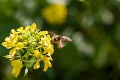 El cierre para arriba de un Wildflower momentos antes de una abeja de trabajador la poliniza durante la primavera Fotografía de archivo
