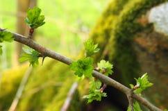 El cierre para arriba de una ramita del espino común con el florecimiento de la primavera verde clara deja el crecimiento hacia f imagen de archivo