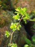 El cierre para arriba de una ramita del espino común con el florecimiento de la primavera verde clara deja reventar hacia fuera d fotos de archivo libres de regalías