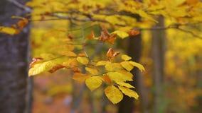 El cierre para arriba del árbol de haya se va en tiempo del otoño almacen de metraje de vídeo
