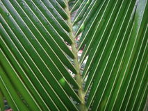 El cierre para arriba del coco fresco se va en el jardín Foto de archivo