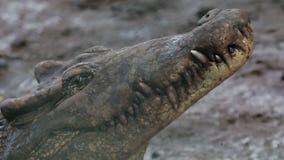 El cierre para arriba del cocodrilo cubano almacen de video