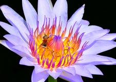 El cierre para arriba del loto púrpura tiene abeja en la flor con el fondo negro Imagen de archivo
