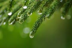 El cierre para arriba del pino se va con descensos del agua después de llover fotos de archivo libres de regalías