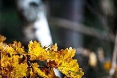 El cierre para arriba del roble amarillo se va en la caída Foto de archivo libre de regalías