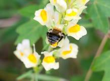 El cierre para arriba detrás de la parte inferior manosea la abeja en la flor vulgaris del Linaria Foto de archivo
