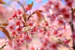 El cierre para arriba, la flor de cerezo o Sakura florece, Chiangmai, Tailandia Fotos de archivo