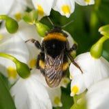 El cierre para arriba manosea la abeja que duerme en una flor Fotografía de archivo libre de regalías
