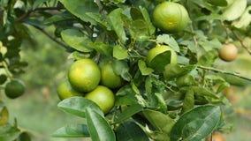 El cierre para arriba tiró el limón verde inmaduro fresco y de la naturaleza en el árbol, cal verde en naturaleza almacen de metraje de vídeo