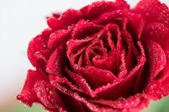 El cierre rojo de la rosa para arriba Imágenes de archivo libres de regalías
