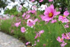 El cierre selectivo encima de colores rosados hermosos del cosmos florece en jardín Fotos de archivo