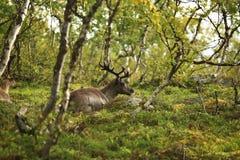 El ciervo con los cuernos hermosos grandes miente en un claro en el bosque foto de archivo libre de regalías