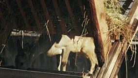El ciervo de huevas europeo come del capreolus del capreolus del alimentador almacen de video