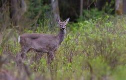 El ciervo de huevas europeo se coloca en los arbustos y los arbustos de madera imagen de archivo libre de regalías