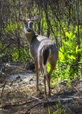 El ciervo de Whtetail mira detrás Imagen de archivo libre de regalías