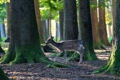 El ciervo en barbecho, dama del Dama es un mam?fero del rumiante imagen de archivo libre de regalías