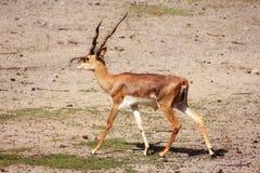El ciervo es un mamífero hermoso Foto de archivo