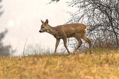 El ciervo está en el prado de la mañana Fotos de archivo