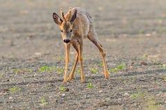 El ciervo está en el prado de la mañana imágenes de archivo libres de regalías
