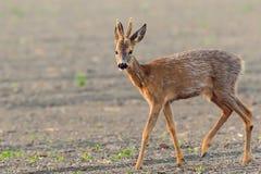 El ciervo está en el prado de la mañana imagen de archivo