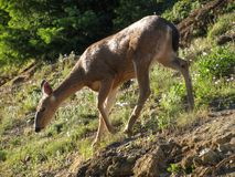 El ciervo mula elegante pasta en un prado herboso del verano foto de archivo libre de regalías