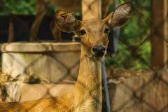 El ciervo se atrapa en una jaula Imagen de archivo libre de regalías