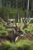 El ciervo se est? sentando por la tarde fotografía de archivo libre de regalías
