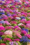 El Cineraria del florista Fotos de archivo libres de regalías