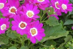 El Cineraria del florista Foto de archivo libre de regalías