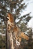 El cinereoargenteus de Grey Fox Urocyon mira a la izquierda del top Broke imagen de archivo libre de regalías