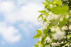 el ciruelo salvaje fresco y hermoso del agua florece con Foto de archivo libre de regalías