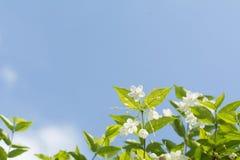 El ciruelo salvaje fresco y hermoso del foco selectivo del agua florece con Imagen de archivo