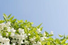 El ciruelo salvaje hermoso del agua florece con el backgr del cielo azul Fotografía de archivo