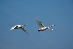 El cisne 1 del vuelo Foto de archivo