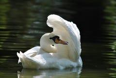 El cisne Fotos de archivo libres de regalías