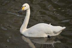 El cisne fotografía de archivo