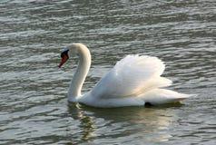 El cisne Imagen de archivo