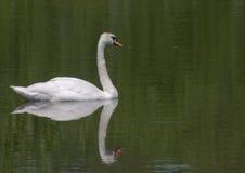 El cisne Fotografía de archivo libre de regalías
