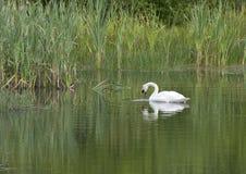 El cisne Imagen de archivo libre de regalías