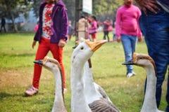 El cisne Fotos de archivo