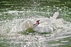 El cisne agita sus alas en el agua. Foto de archivo