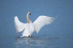 El cisne aviva sus alas en el r?o fotografía de archivo