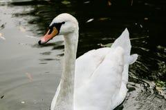 El cisne bebe el agua, picos gotea del pico Foto de archivo libre de regalías