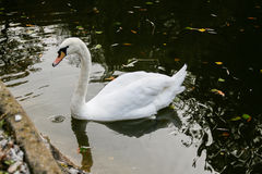 El cisne bebe el agua, picos gotea del pico Imagenes de archivo