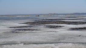 el cisne blanco camina en el hielo de la primavera del lago Naturaleza y fauna almacen de video