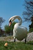 El cisne blanco está comiendo un pan en la hierba verde Fotografía de archivo libre de regalías