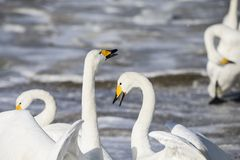 El cisne blanco está luchando fotografía de archivo